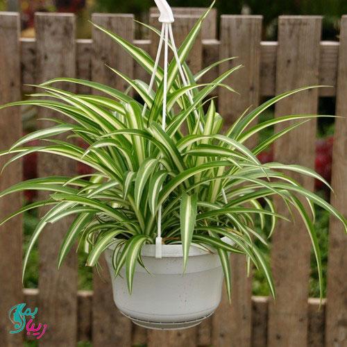 گیاه گندمی بهترین گل های آپارتمانی